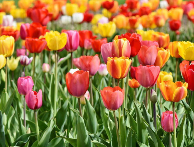 Les tulipes de l'espoir